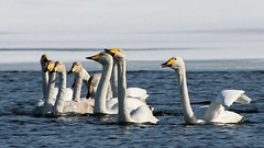 Whooper Swans (bholmbom81) Tags: winter snow water spring arctic climate whooperswans bjornholmbom björnholmbom naturinorr