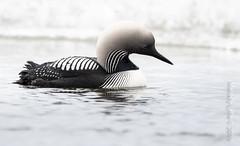 Pacific Loon (karenmelody) Tags: usa bird birds animal animals alaska unitedstatesofamerica vertebrate vertebrates pacificloon gaviapacifica nearbarrow gaviformes utqiaġvik
