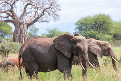(Markus Hill) Tags: manyara africa travel elephant nature animal canon safari elefant tarangire tansania 2019