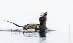 Long-tailed Duck (karenmelody) Tags: bird birds animal animals alaska duck ducks anatidae anseriformes longtailedduck clangulahyemalis usa unitedstatesofamerica vertebrate vertebrates nearbarrow utqiaġvik