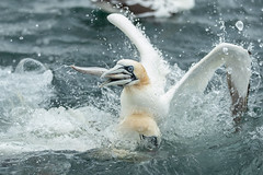 Gannets fighting over food Nr Bempton Cliffs, Yorks. UK  26/07/19 (Thomas Winstone) Tags: gannets gannet canonuk canon 300mm28mk2 birds aves uk bird shorebird outdoors wildlife nature wildbirds waterbirds countryside outdoor avian coast coastal gitzo thomaswinstonephotography bbc springwatch bbcspringwatch nationalgeographic sea water feathers