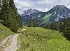 Cows from the Gastlosen (Karl Le Gros) Tags: gastlosen 2019 xaviervonerlach switzerland cantondefribourg cows valléedupetitmont pastures rural lagruyère landscape panorama