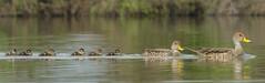 Pato Jergón Grande - Anas georgica (gerardo.carinao) Tags: anasgeorgica pato aves avesdechile fauna