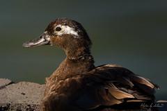 Hybrid Duck (Selkii's Photos) Tags: birds california domesticduck duck familyanatidae hybridbird lakeshorepark newark orderanseriformes