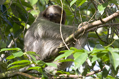 three-toed sloths (Rob Schleiffert) Tags: costarica sloth sarapiqui