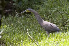 Tiger heron (Rob Schleiffert) Tags: costarica tigerheron heron
