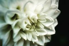 Dahlia. #Summer #vacation #maine #acadia #nps #findyourpark #nationalpark #thuya #garden #neharbor #canon #realcamera #rebelxs #efs60mm #macro #flowers #Canon #EFS60mm #macro  #flower #flowersofinstagram (Kindle Girl) Tags: flowers summer vacation maine acadia nps findyourpark nationalpark thuya garden neharbor canon realcamera rebelxs efs60mm macro flower flowersofinstagram