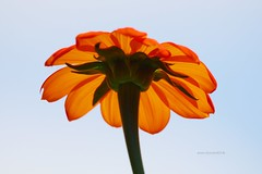 View from Down Under (Anton Shomali - Thank you for over 2 million views) Tags: flower nature wet t photography warm flickr mexican sunflower tithonia rotundifolia camera morning flowers red summer sky sun storm green art water beautiful beauty rain yellow clouds yard america reflections garden season lens landscape mexico photo back drops nice nikon view sony central picture drop seeds p900 frame coolpix thunder monarchs slta77v bright skies brightsky blue orange hot hotorange blueskies behind below under fromdownunder viewfromdownunder creative flamingorange flamingred hotsummer colors brightcolors