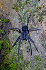 Wolf spider (Rob Schleiffert) Tags: costarica wolfspider spider monteverde