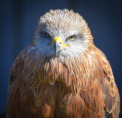 Bird of Prey (littlestschnauzer) Tags: york birds prey centre bird visit tourist brown nature wildlife uk feathers