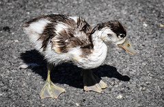 I'm only a poor little duckling...... (littlestschnauzer) Tags: martinmere birds bird nature wildlife baby duckling duck wet cute 2018 visit poi uk rspb animals webbed feet feathers brown white wetland centre