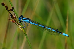 DSC06916 - Common Blue (steve R J) Tags: common blue hanningfield reservoir ewt reserve essex damselfly odonata british