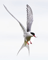 Arctic Tern (captures.in.time) Tags: seal greyseal grey pup sea firth forth river shore beach nature naturephotography wildlife wildlifephotography scottishwildlife scottish naturalhistory history ngm ngc planet lonely wild sspca seaside scotland borders isleofmay may isle island firthofforth puffin puffy sand eel feast fish food look tern arctic arctictern aviation aviationphotography flight