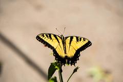 eastern tiger swallowtail (jima) Tags: northcarolina easterntigerswallowtail durham butterfly 2019