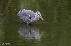 Heron (johnthistle) Tags: canon 7dmkii 500mm bird stalking water lake fish fishing feeding eating wild nature grey green heron reflection maplelodgenaturereserve