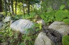 Eastern Massasauga Rattlesnake (Nick Scobel) Tags: eastern massasauga rattlesnake sistrurus catenatus rattler venomous snake pit viper coiled defensive hidden scales texture pattern cryptic sunset wide angle scenic landscape habitat