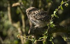 Little Owl (Craig 2112) Tags: littleowl tree wild bird prey yorkshire athenenoctua