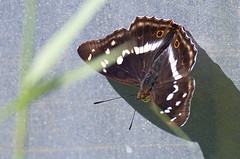 Suur-kiirgliblikas; Apatura iris; Purple Emperor (urmas ojango) Tags: lepidoptera liblikalised insecta putukad insects butterfly koerlibliklased nymphalidae suurkiirgliblikas apaturairis purpleemperor