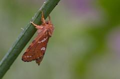 Väike eistekedrik; Phymatopus hecta ♂ (urmas ojango) Tags: lepidoptera liblikalised insecta insects putukad moth eistekedriklased hepialidae phymatopushecta väikeeistekedrik nationalmothweek
