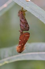 Väike eistekedrik; Phymatopus hecta (urmas ojango) Tags: lepidoptera liblikalised insecta insects putukad moth eistekedriklased hepialidae phymatopushecta väikeeistekedrik nationalmothweek