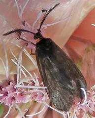 Clemens' False Skeletonizer, Acoloithus falsarius, Washington Crossing (Seth Ausubel) Tags: zygaenidae moth procridinae