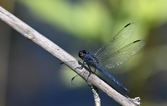 Dragonfly-7-FLK