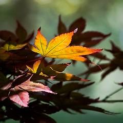 Maple at the Dallas Arboretum (James K *) Tags: nikon af nikkor 180mm f28 ifed nikonafnikkor180mmf28ifed d850
