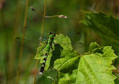 Dragonfly-5-FLK