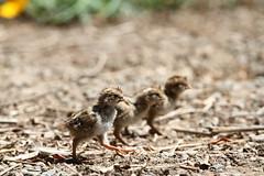 California Quail chicks (jlcummins) Tags: home backyardbirds washingtonstate yakimacounty californiaquail