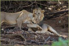 The Look of Love 5300 (maguire33@verizon.net) Tags: africa kenya tsavo westtsavo lion lioness mating tease wildlife coast