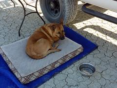 Bella on her taco (simonov) Tags: black rock desert playa bella dog hund chien 狗 σκύλοσ madra cane 犬 perro 개 سگ собака الكلب germansheprador