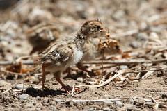 California Quail chick (jlcummins) Tags: home backyardbirds washingtonstate yakimacounty californiaquail explore