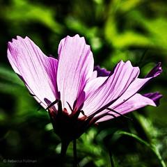 Cosmos. #Summer #vacation #maine #acadia #nps #findyourpark #nationalpark #thuya #garden #neharbor #canon #realcamera #rebelxs #efs60mm #macro #flowers #Canon #EFS60mm #macro  #flower #flowersofinstagram (Kindle Girl) Tags: flowers summer vacation maine acadia nps findyourpark nationalpark thuya garden neharbor canon realcamera rebelxs efs60mm macro flower flowersofinstagram