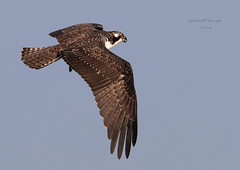 Osprey In flight (stephenwalshphoto) Tags:
