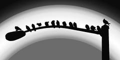 Light pole pigeons (FotoGrazio) Tags: lightpost feathers painterly monochrome scenic art waynestevengrazio waynesgrazio fotograzio birds highcontrast lovely streetlight smartphotoeditor photoeffect animal pigeons highcontrastphotography backlit silhouettes wildlife specialeffects waynegrazio phototoart bird beautiful silhouette animals graphics blackandwhite photomanipulation backlighting
