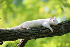 47/366/4064 (July 28, 2019) - White Squirrels Near the Olney Public Library in Olney, Illinois - July 27th, 2019 (cseeman) Tags: olney illinois wildlife animals squirrels whitesquirrels olneysquirrels albinosquirrels albino whitesquirrelsolney2019 albinoeasterngraysquirrels whiteeasterngraysquirrelseastern grey squirrelslibraryolney public librarypublic librarieslibrariesparkstreesgrasswhitesquirrelsolneylibrary2019squirrel tourism squirreltourism2019 olneypubliclibrary libraries parks trees grass whitesquirrelsolneylibrary2019 2019project365coreys yeartwelveproject365coreys project365 p365cs072019 356project2019