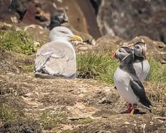 Common Gull and Atlantic Puffins (Winsome4sure) Tags: puffinisland canada landscape newfoundlandlabrador elliston