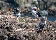 Atlantic Puffins (Winsome4sure) Tags: puffinisland canada landscape newfoundlandlabrador elliston