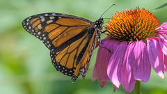Monarch Butterfly  7024 (Paul McGoveran) Tags: monarchbutterfly nature nikon500mmf4 nikond500 norfolkcounty wings flower coth coth5