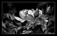 Róża B&W. (andrzejskałuba) Tags: poland polska pieszyce dolnyśląsk silesia sudety europe plant pąki plants roślina rose róża rośliny macro beautiful biały black buds beauty bw blackwhite cień shadow ogród kwiat kwiaty flower flora floral flowers white natura nature natural natureshot natureworld nikoncoolpixb500 outdoor czarny 1500v60f