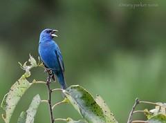 Indigo Bunting (Mary Sonis) Tags: bunting indigo bird wildlife mason farm carolina migrant songbird
