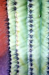saguaro spines (film) (Cheryl Dunlop Molin) Tags: saguaro saguarocactus cactusspines cactus