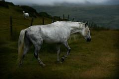 Wild and wonderful (PentlandPirate of the North) Tags: pony horse welsh mountain grey penmaenmawr