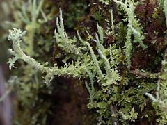 Mosses etc (Boobook48) Tags: moss bryophytes homerton australia breutelia lichen podetia cladonia