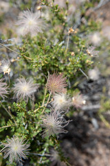 Little things in Arizona's big places #9 (John Nefastis) Tags: arizona little littlethings things nationalpark nationalmonument national park monument vegetation flower color green white puffy fluffy red