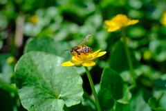 Flowers. (denkuznets81) Tags: flower floral green garden bloom blossom beautiful nature macro summer spring цветы цветок природа макро лето весна пчела bee