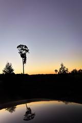 Mirror (Alexandra Kfr) Tags: outside reflection water night sunset tree black silhouette contrast nature naturephotography photography australia travel explore nikon colors yellow sky