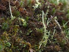 Mosses etc (Boobook48) Tags: moss bryophytes homerton australia breutelia lichen cladonia podetia