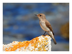 Muscicapa striata (M.L Photographie) Tags: nature animal bird wild wildlife wildlifephotography ornithology ornitho ornithologie france corse corsica nikon coolpix p900
