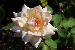 Rose (Hugo von Schreck) Tags: hugovonschreck rose flower blume blüte macro makro canoneosm50 efm1545mmf3563isstm